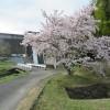 桜名所の今富ダム湖畔にお花見行ってきました